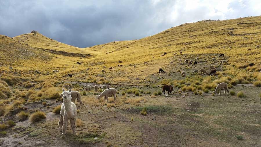 Alpakas Alpakafarm